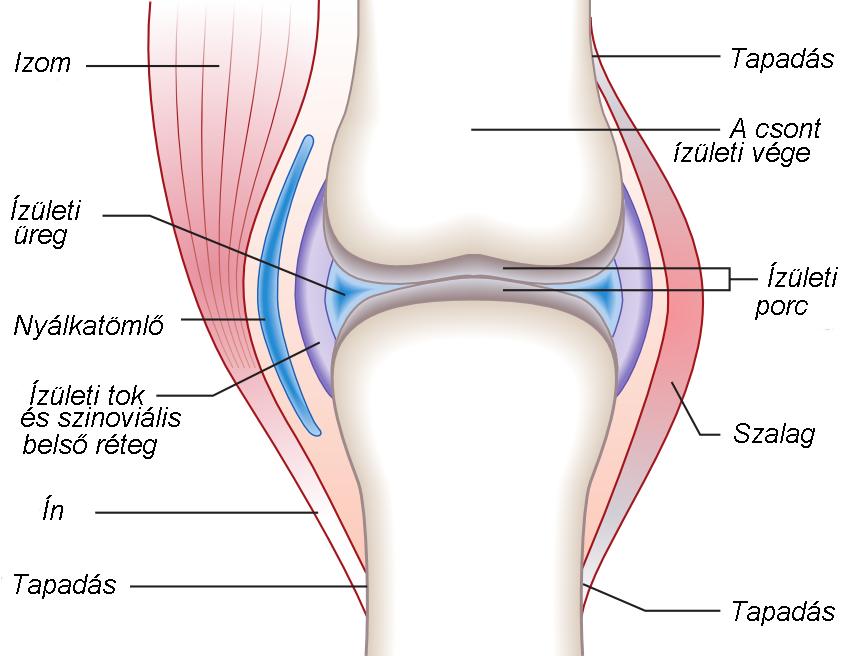 a térdízület kerek keresztkötése akupunktúra ízületi fájdalom