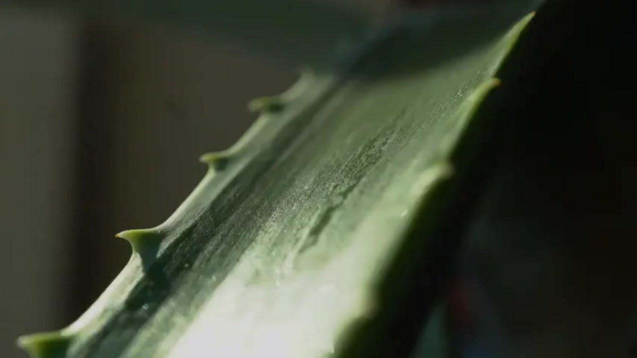 agave ízületi kezelés metatarsalis osteochondrosis