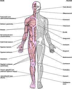 csontok és ízületek gyulladásos betegségei